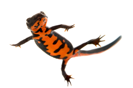 crawly: This image shows a fire bellied newt