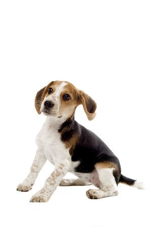 This image shows a young beagle puppy with its ear up