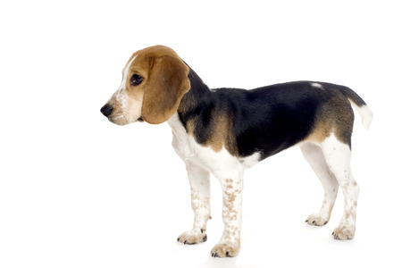 doggies: This image shows a cute beagle puppy in profile.