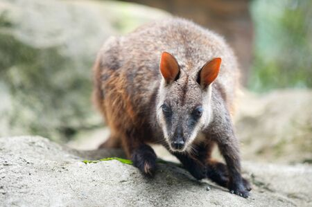 marsupial: This image shows a wallaby at the Sydney zoo, Australia Stock Photo