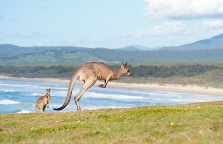 marsupial: This image shows Kangaroos in Emerald Beach, Australia