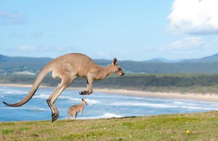 Dit beeld toont Kangoeroes in Emerald Beach, Australië