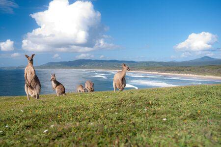 This image shows Kangaroos in Emerald Beach, Australia