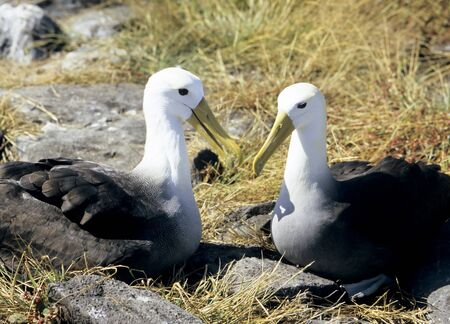 waved: This image shows a Pair of Waved Albatross, in the Galapagos Islands Stock Photo