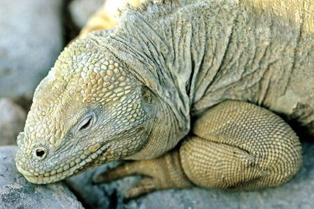 evolve: This image shows a Land reptile - Galapagos Island Stock Photo