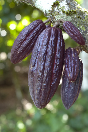 This image shows ripe Cocoa pods  on the tree