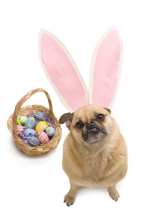 stocky: This image shows a pug pomeranian wearing bunny ears.