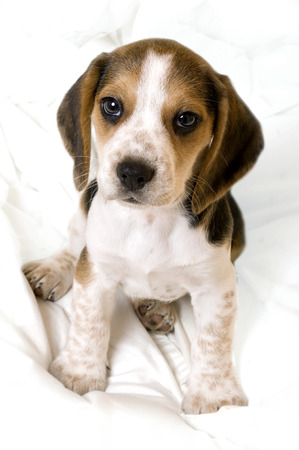 This image shows a young beagle pup (8 weeks old) sitting on a blanket.