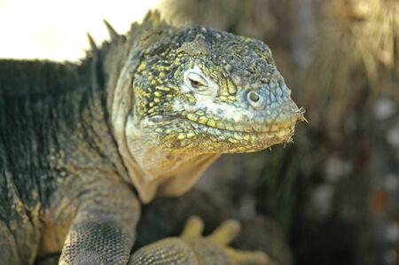galapagos: This image shows a Galapagos Lizard