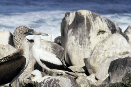 booby: This image shows some Galapagos Blue Footed Booby Birds.