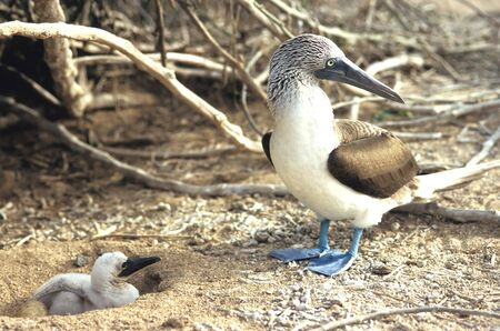 boobie: This image shows a Blue Footed Booby – Parent and Chick