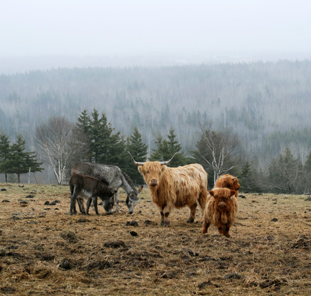 fixate: This image shows some Scottish Highlander Cows Stock Photo
