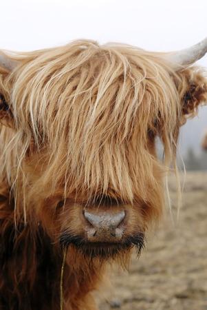 highlander: Esta imagen muestra algunas vacas escocesa Highlander Foto de archivo