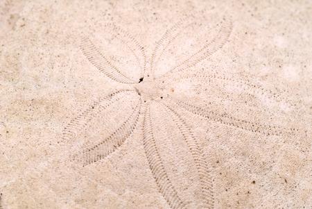 sand dollar: Esta imagen muestra un patr�n d�lar de arena Foto de archivo
