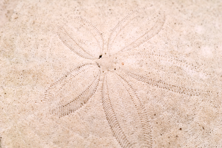 sand dollar: This image shows a Sand Dollar Pattern