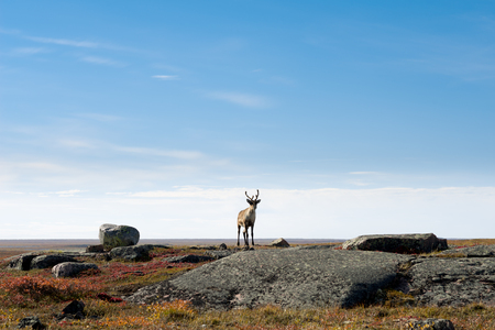 caribou: This image shows a lone Caribou on the Arctic Tundra, Nunavut, Canada