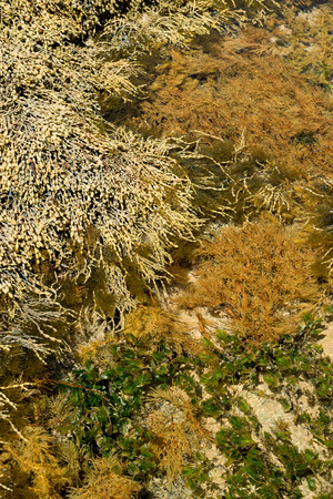 lonsdale: This image shows Tidal Pool Seaweed at Point Lonsdale in Victoria, Australia