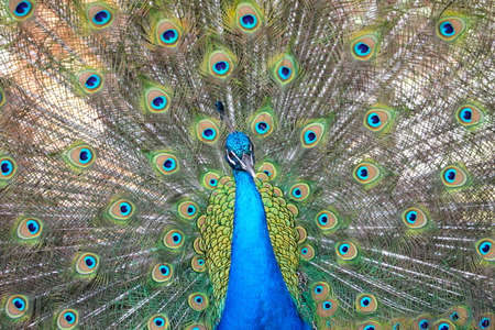 magnificence: Zoom Peacock Male at the time of opening the feathers