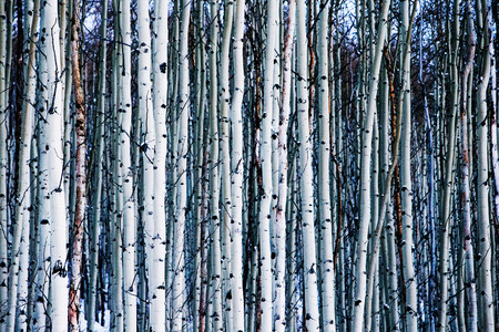 Aspen Trees in Winter 版權商用圖片