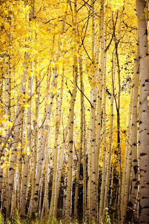 yellow aspen trees forest fall autumn Stock Photo