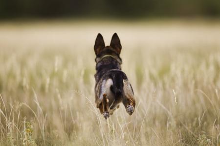 Dog sprinting through field Stock fotó