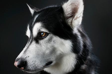 black wolf: Alaskan Malamute Head Stock Photo