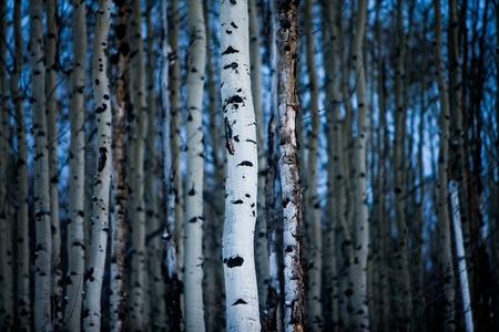 ポプラの樹皮 写真素材