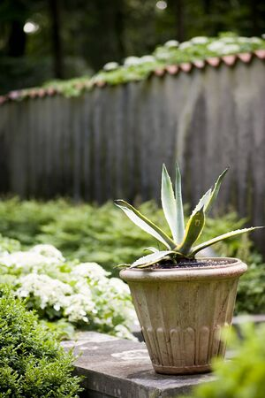 Potted Aloe Plant in garden