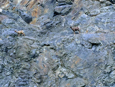 Two goats hanging on the side of a rock face in Jasper National Park