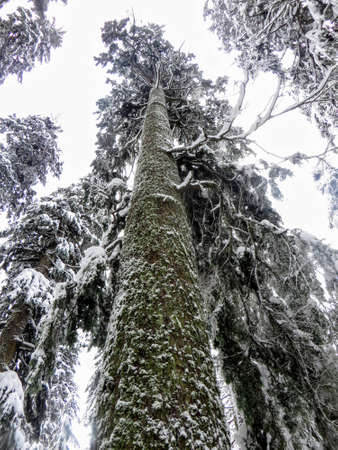 A ground perspective of a huge cedar tree covered in snow reaching towards the sky on cypress mountain, near Vancouver, British Columbia, Canada.