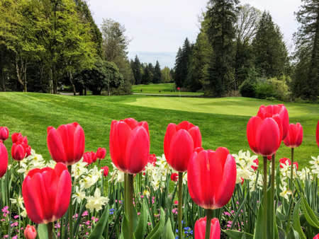 A beautiful view of a golf course with a green surrounded by evergreen forest in the background, and a garden of red tulips and daffodils in the foreground.  Perfectly manicured.