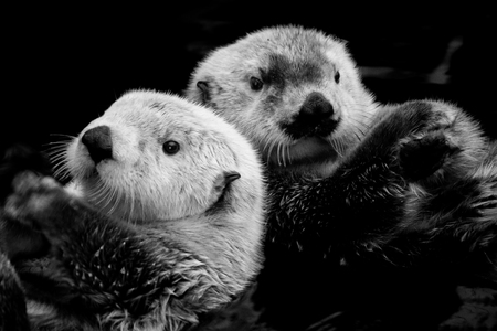 Two Sea Otters Floating in Water (Black & White)