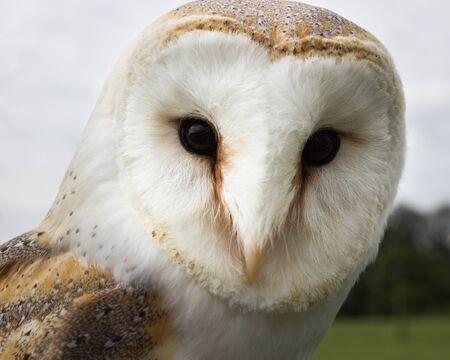 Barn Owl Face Close Up