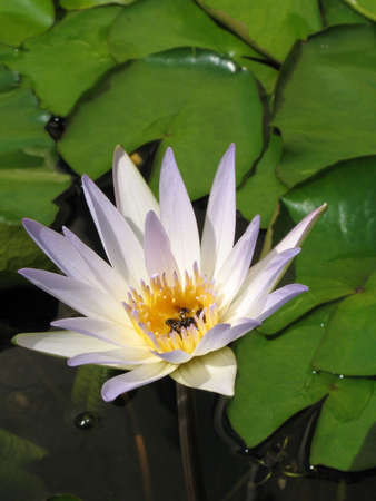 кувшинка: Water Lily flower in bloom
