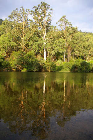 colo: eucalyptus trees by the colo river, new south wales Stock Photo