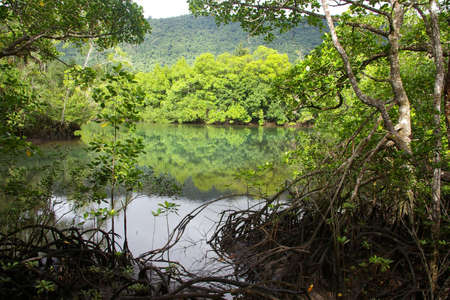 tribulation: mangroves cape tribulation, queensland