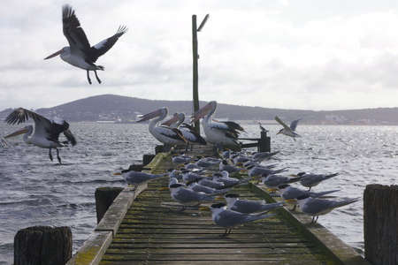 seabirds: seabirds on pier, western australia Stock Photo