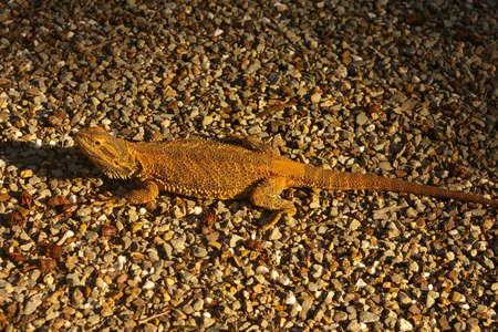 bearded dragon lizard: bearded dragon lizard, south australia