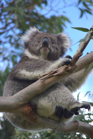 animal pouch: koala, victoria, australia