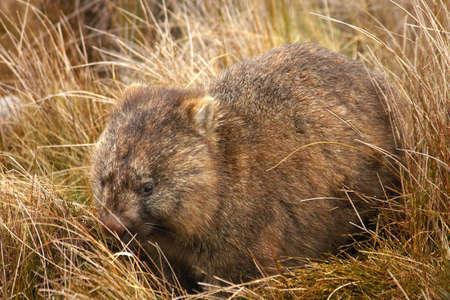 wombat: Wombat, Tasmania