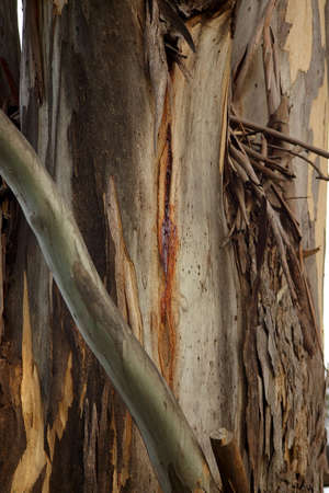 tasmania: paper bark tree, tasmania Stock Photo