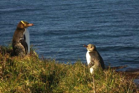 flightless bird: yellow eyed penguins, new zealand