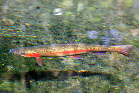 rainbow trout, new zealand Stock Photo - 905450