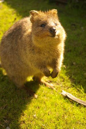 animal pouch: quokka on rottnest island, western australia