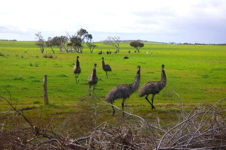 birdlife: emus in field