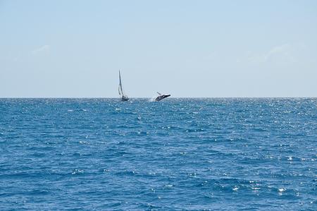 A whale breaching near a sailing boat at sea