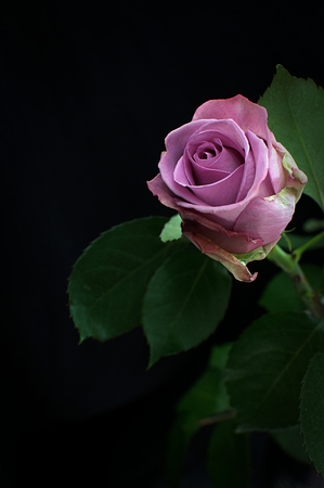 A single, pink rose highlighted against a black background