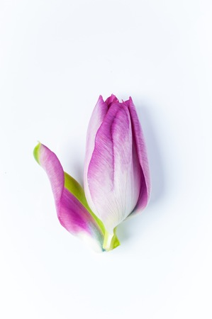A single pink tulip with one petal unfurling against a white background