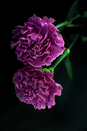 Reflection of a single carnation on a mirror against a dark background