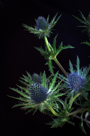 Bunch of thistles highlighted against a black background